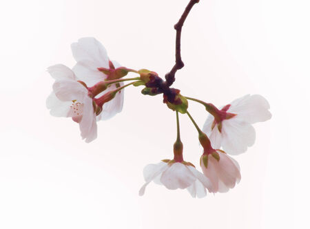 Close up of Yoshino cherry bloom in the sky background photo