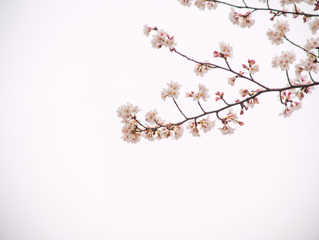 Yoshino cherry tree in full bloom in the sky back photo