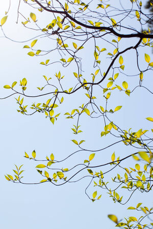 Fresh leaves and branches of dogwood  Cornus florida  and sunlight photo