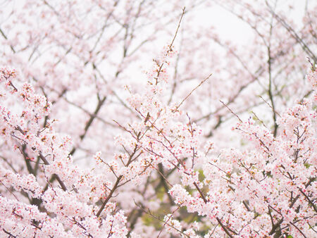Yoshino cherry tree branch in full bloom in the sky background photo