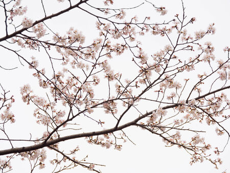 The Yoshino cherry tree branch in full bloom in the sky background photo