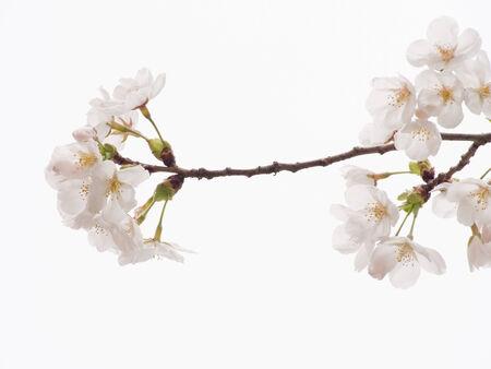 Yoshino cherry branch in full bloom in the sky background photo