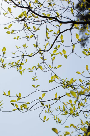 Fresh leaves of dogwood  Cornus florida   photo