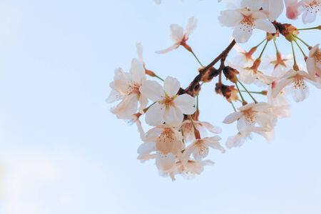 The Yoshino cherry tree in full bloom in the sky back photo