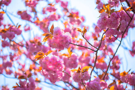 Booming double cherry blossom branches photo