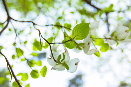 White flowering dogwood tree  Cornus in bloom in sunlight