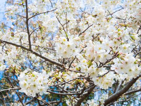 Yoshino cherry tree branch in full bloom photo