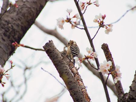Yoshino вишня дерево цветет и карликовый дятел Dendrocopos kizuki photo