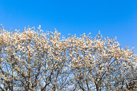 Blooming Magnolia flowers in blue sky photo