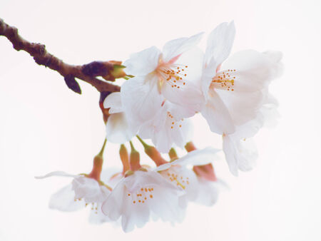Close up of Yoshino cherry tree blossom in full bloom photo