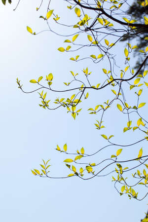 Curve of the branches of dogwood  and sunlight photo