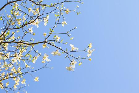 White flowering dogwood tree  Cornus florida  in bloom in sunlight