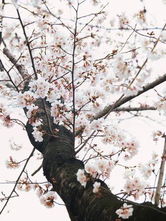 Yoshino cherry tree in full bloom in the sky background photo
