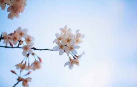 Yoshino cherry tree in full bloom and blue sky photo