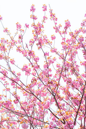 Blooming double cherry blossom branches and blue sky photo