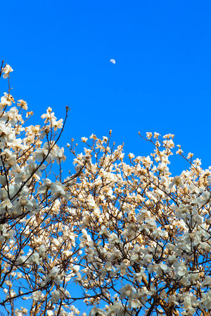 Blooming Magnolia flowers and moon photo