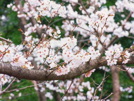 Yoshino ветви вишневого дерева в полном расцвете в фоне неба photo