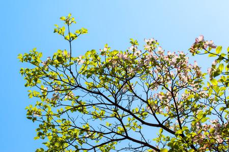 White flowering dogwood tree cornus florida in bloom in sunlight stock photo white flowering dogwood tree cornus florida in bloom in sunlight mightylinksfo