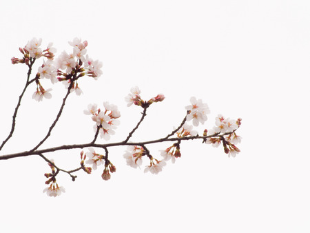 blanch: Yoshino cherry blossoms and blanch in the sky background Stock Photo