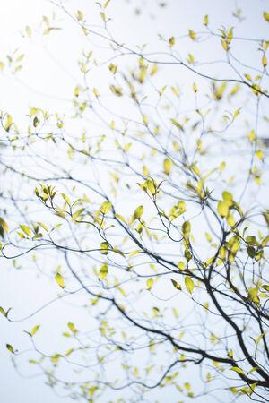 Fresh leaves of dogwood (Cornus florida) and sunshine Stock Photo