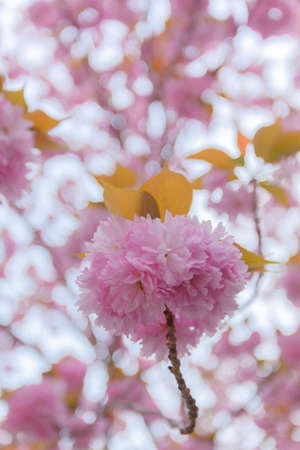 Close up of blooming double cherry blossoms photo