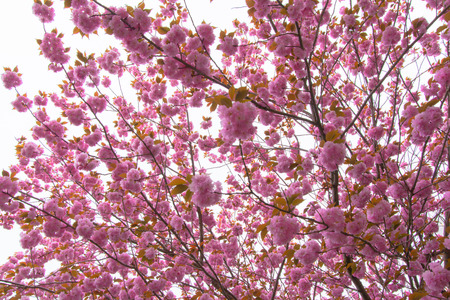 Blooming double cherry blossom tree photo