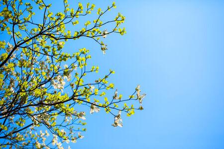 Branches of dogwood  Cornus florida  and blue sky