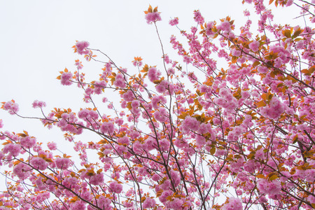 Blooming double cherry blossom tree and white sky photo