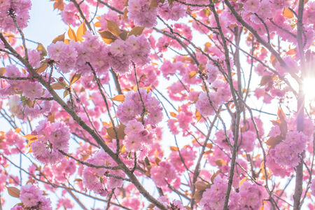 Blooming double cherry blossom tree and sun light photo