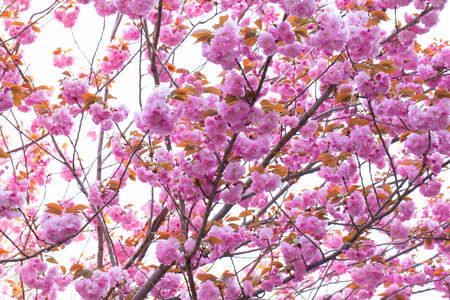 Booming double cherry blossom branches in the blue sky photo