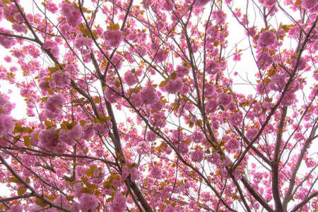 Blooming double cherry blossom tree