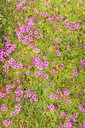 woodsorrel: Pink woodsorrel  Oxalis corymbosa