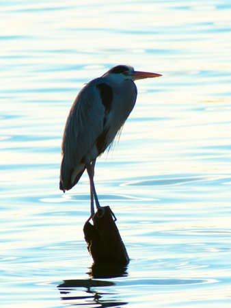 Grey heron, Ardea cinerea, silhouette standing on the sunset lake photo