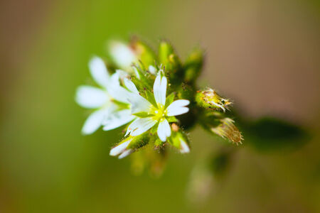 chickweed: Stellaria blooms on green meadow