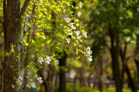 Flowers of dogwood  Cornus florida  Stock Photo