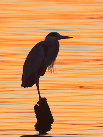 Grey heron, Ardea cinerea, silhouette standing on the sunset lake Stock Photo - 27643141