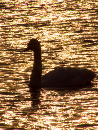 Silhouette of swan in the sunset shining lake photo