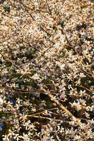 Blooming Magnolia flowers in blue sky photo