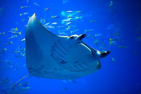 Manta ray photo