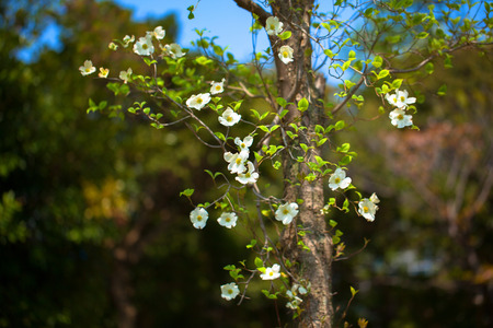 White flowering dogwood tree cornus florida japan stock photo stock photo white flowering dogwood tree cornus florida japan mightylinksfo