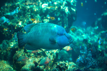 Napoleon fish in Okinawa Churaumi Aquarium photo