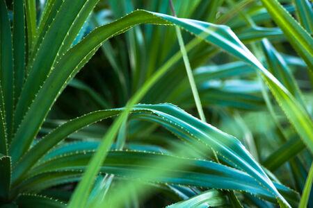 tectorius: Close up of Adan leaves, Pandanus tectorius Stock Photo