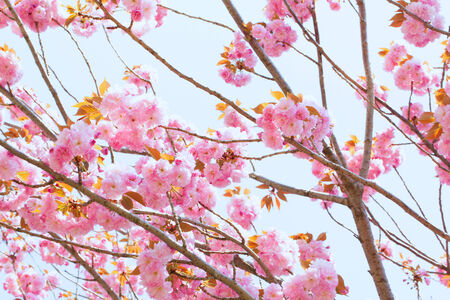 Blooming double cherry blossom and sky background photo