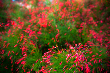 coral bell: Red blossoms of a Firecracker plant (Russelia equisetiformis) Stock Photo