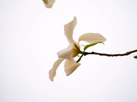 Close up of blooming Magnolia flowers photo