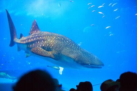 Whale shark in Okinawa Churaumi Aquarium photo