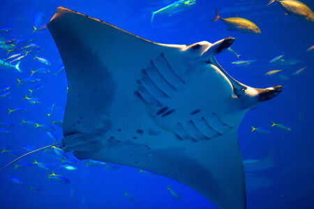 Manta ray in Okinawa Churaumi Aquarium 免版税图像