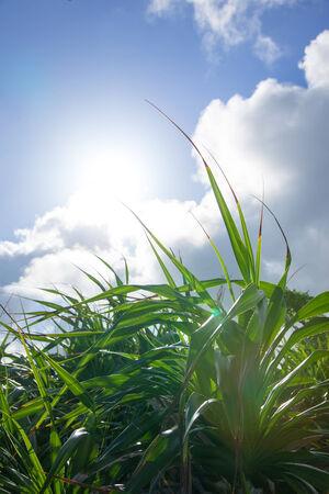 tectorius: Pandanus tectorius and sunshine in Okinawa