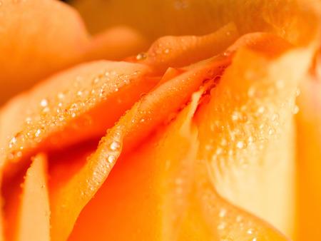 convolute: Bright convolute petal of lovely orange rose Stock Photo
