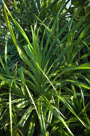 tectorius: Leaves of Adan, Pandanus tectorius in Okinawa